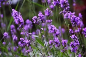 Lavendel: Nicht nur hübsch anzusehen, sondern auch therapeutisch vielseitig