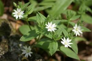 Sternmiere oder Stellaria: ein komplett essbares Gemüse