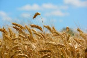 Anti-Weizen-Welle: Warum auch Diabetiker aufspringen sollten