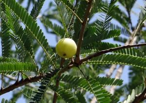 Kleine Beere, große Wirkung: Die indische Stachelbeere