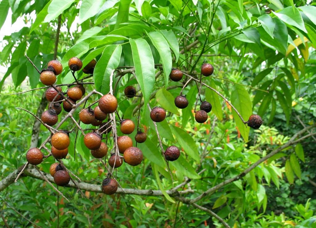 Reife Waschnüsse an einem Baum in Indien