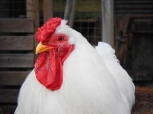 Top Gründe für die Hühnerhaltung