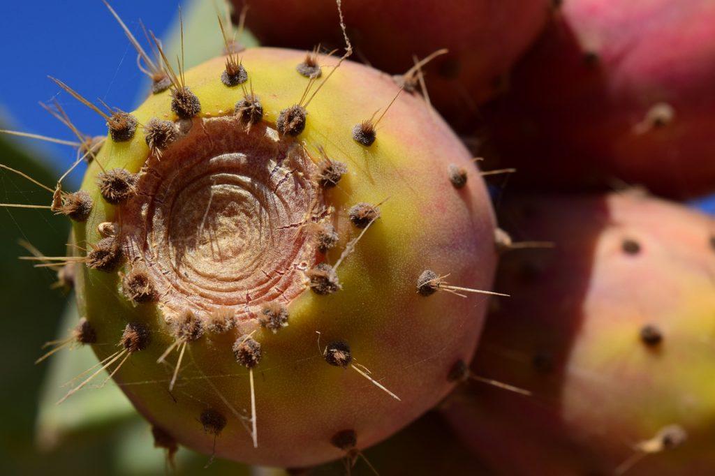 kaktusfeige